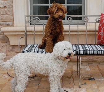 sundancelabradoodles.com,  labradoodles for sale, australian labradoodle puppies availabe in Arizona, california, nevada, united states, canada, mexico