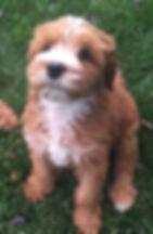 arizona puppy