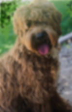 best breeder in AZ, best labradoodle breeder in Arizona AZ , best multigenerational breeder in Arizona AZ,  Quality labradoodle breeder in CA California, Best labradoodle breeder in California CA , Best labradoodle breeder in Texas, Top notch quality labradoodles in the west, best labradoodle breeder in united states, number one labradoodle breeder in Arizona, original labradoodle breeder in Arizona,  best looking labradoodles in the u.s. united states, best looking labradoodles in the west, best labradoodle puppy breeder