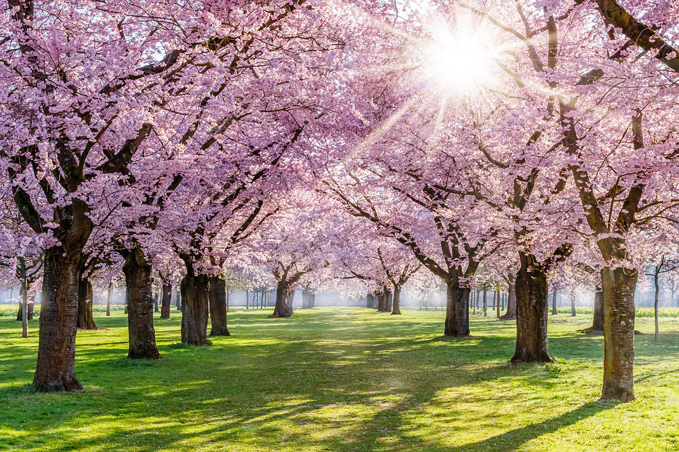 Cherry blossoming trees and sun light in