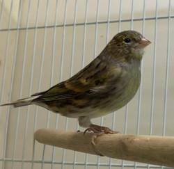 Spanish Timbrado Canary