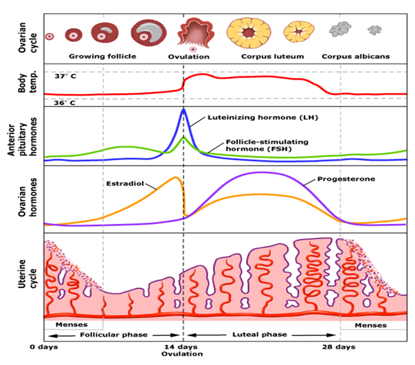 Menstrual Cycle Chart and hormone levels
