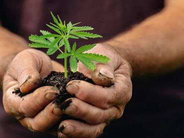 ACT had highest percentage increase in cannabis seizures