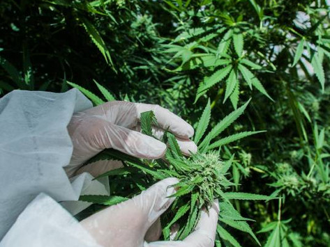 Medicinal cannabis trial for cancer patients to start at Calvary Mater Hospital in Newcastle.
