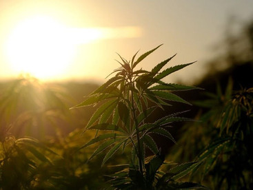 Confirmed: Morocco Will Legalise Cannabis Next Week