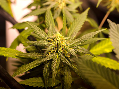 Colorado's New Cannabis Laws Bring In $60 Million In State Taxes In Less Than A Year