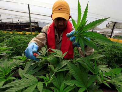 Colombia seeks to be a cut above on cannabis