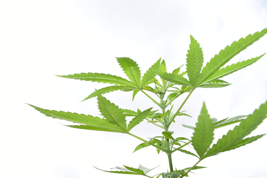 www.cannabisclubaustrralia.com.au
