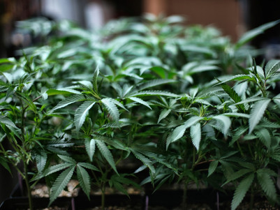 PLANT POTENTIAL Harvard University scientists reveal cannabis could hold key to CURING pancreatic ca