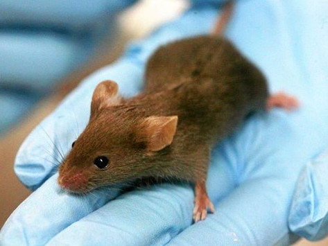 Daily cannabis dose helps improve mice memories