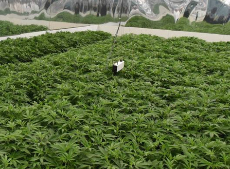 Medicinal cannabis gap between Tasmania, mainland