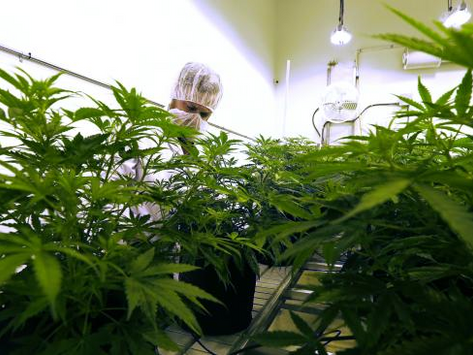 Australian government launches new medical cannabis guidelines