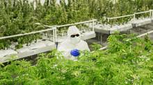 Genetic clues to medicinal cannabis unlocked in Victoria, Australia
