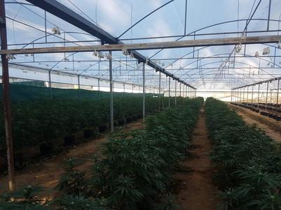 Major cannabis seizure, Buaraba