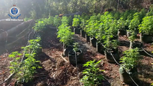 $6.5 million worth of cannabis seized in Nambucca Valley