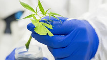 Aussie scientists claim a world first with deep dive into cannabis