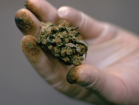 Green Light for Tassie Weed