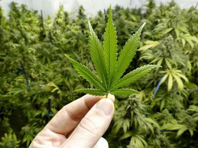 NSW medicinal cannabis bill fails