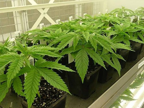 SA to look at cannabis, hemp changes
