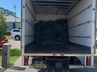 Vietnamese national charged after police seize 250 cannabis plants at Singleton, NSW