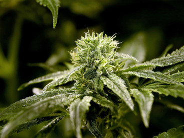 New York on the verge of legalising recreational cannabis