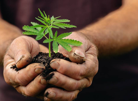 State government provides grant for medicinal cannabis facility in WA