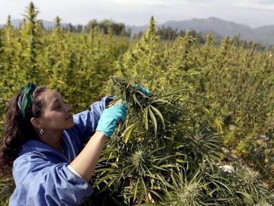 Recreational marijuana use: Cannabis less harmful than processed sugar, saturated fats and alcohol,