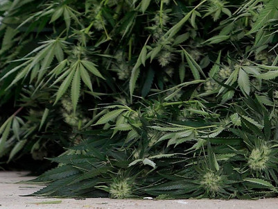 Cannabis plants found in garden grown for medicinal use