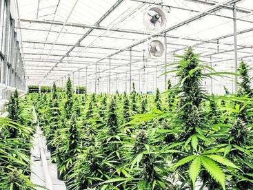 Seven ACT doctors can prescribe medicinal cannabis