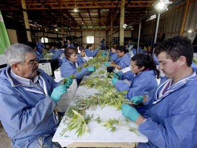 The impact of the DEA's possible reclassification of cannabis