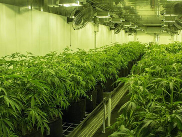 #COVID19: Red tape cuts to light up cannabis markets
