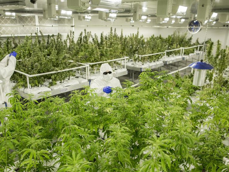 First medicinal cannabis crop harvested at secret Victorian site