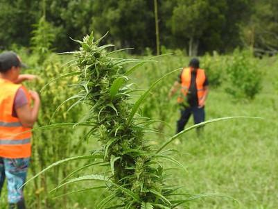 NZ cannabis campaign on a knife edge
