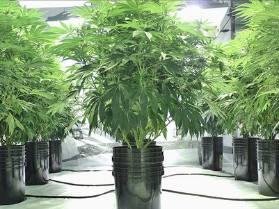Creso agreement with Health House sees first shipment of medical cannabis into Australia