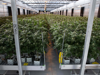 Medicinal cannabis blacklisted by Australian pain specialists
