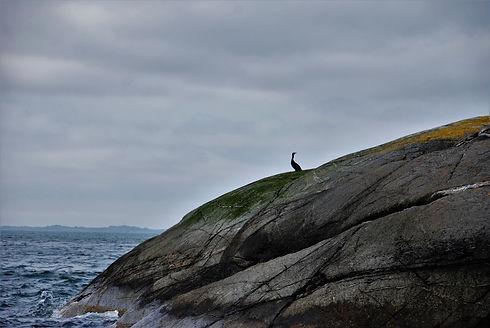 Skarv_på_sjøfjell_i_siluett.jpg