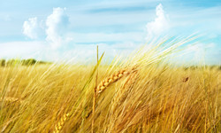 ear-wheat-field-sky-clouds-macro.jpg