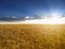 wheat_field_sun.jpg