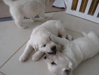 Puppy Wrestling!