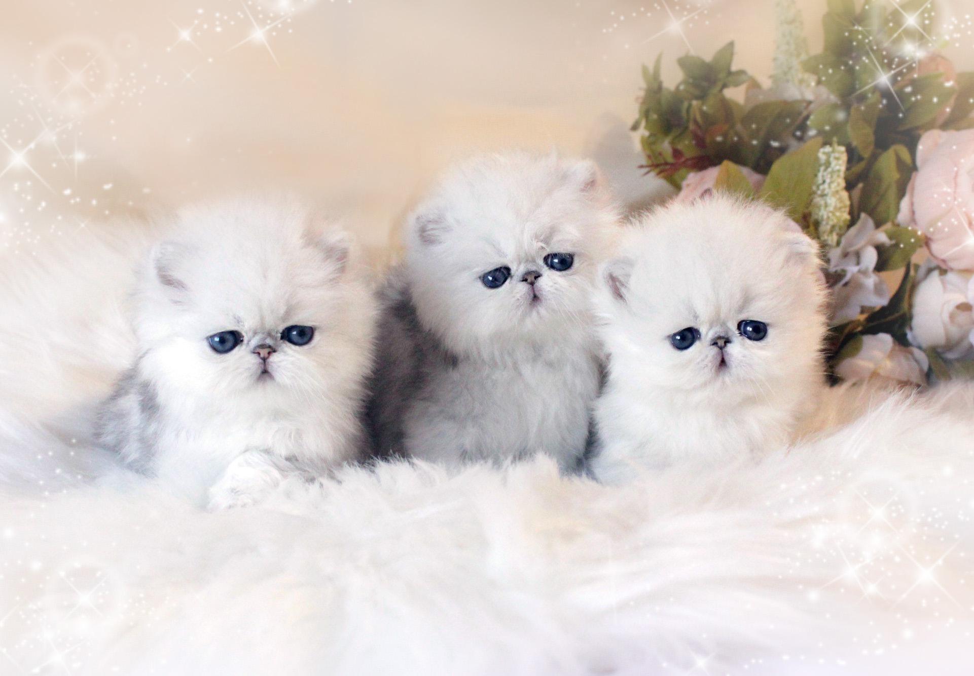 bambolina kittens