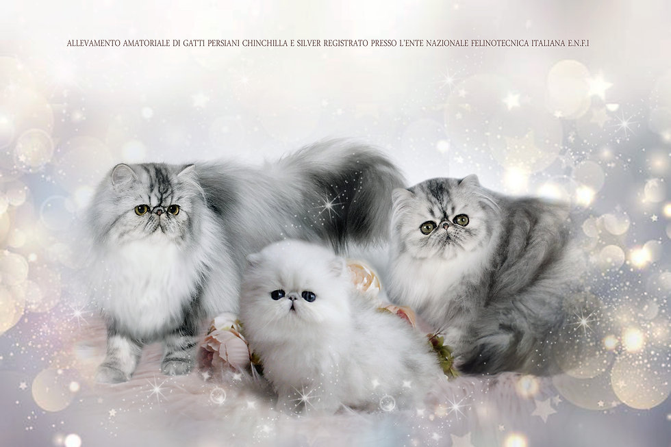 silver persians.jpg