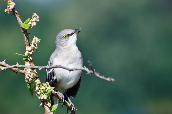 Singing Northern Mockingbird Perched in