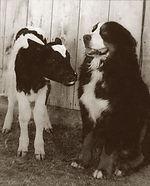 Bernese e Mucca storis.jpg