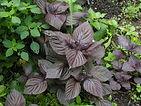 1200px-Purple_Perilla_foliage.jpg