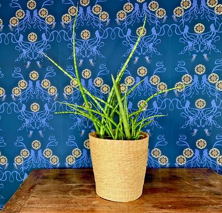 Sansevieria House Plant