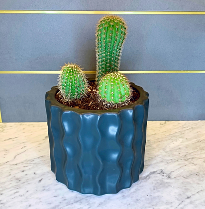 "Cactus ""Three Amigos"""
