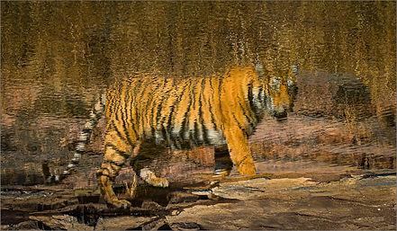 Tiger (97)1.jpg