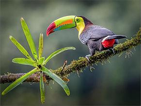 Keel Billed Toucan (97).jpg