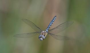 Migrant Hawker dragonfly 82.jpg