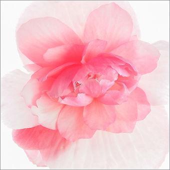 Begonia (97).jpeg